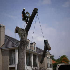 Lowering a section of an upper branch.