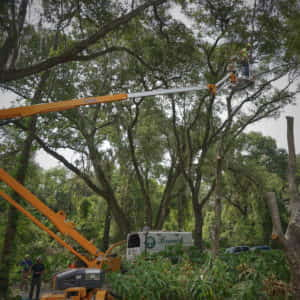 Trimming the upper canopy for tree removal (5-18-2020)