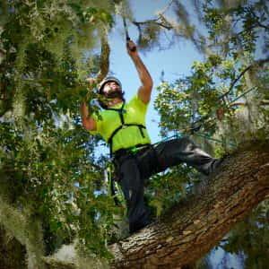 Pruning Upper Canopy
